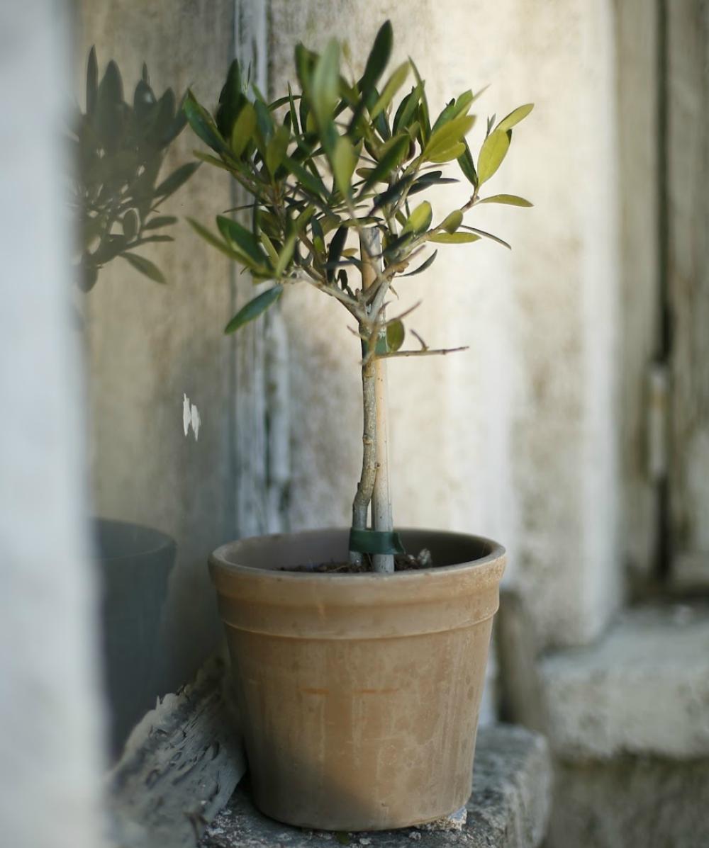 Оливковое Дерево купить