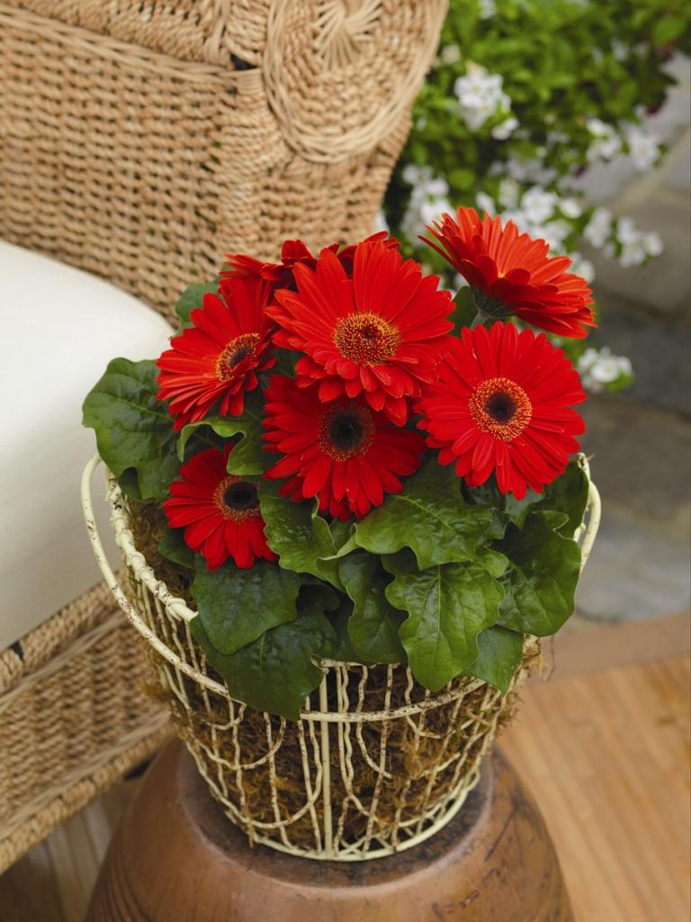 Купить цветок Гербера