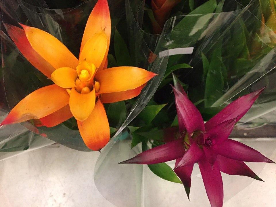 Купить цветок Гузмания